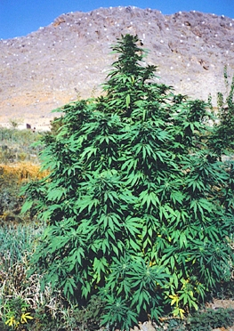 Community Life in the Emerald Triangle
